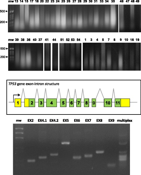 Oncogene sequence analysis. ( top ) Genomic DNA was extracted from BC and electrophoresed in agarose/ethidium bromide. Sample numbers are on top of each lane; mw: molecular weight markers. ( mid ) Exon-intron structure of the TP53 gene. ( bottom ) PCR amplification of the TP53 exons. EX: exon number; multiplex: simultaneous amplification of all exons with optimized primers and amplification procedure; mw: molecular weight markers