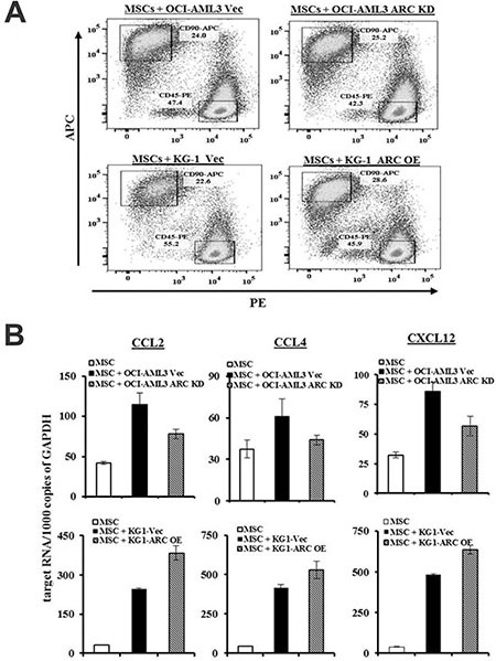 ARC in AML modulates CCL2, CCL4, and CXCL12 expression in MSCs ( A ) MSCs were cultured alone or with ARC KD OCI-AML3, ARC OE KG-1, or the respective control cells for 48 h and MSCs were FACS sorted conservatively as marked in the boxes for CD45 − CD90 + cells. ( B ) CCL2, CCL4, and CXCL12 levels in MSCs were determined by quantitative RT-PCR.