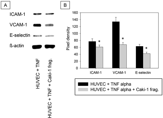 A. Western Blot Analysis. Total protein content of ICAM-1, VCAM-1 and E-selectin in HUVEC cells incubated with TNF-alpha (500 U/ml) and/or Caki-1 cell fragments for 24h. TNF = TNF-alpha, Caki-1 frag. = Caki-1 cell fragments. B. Pixel density of protein bands shown in A.