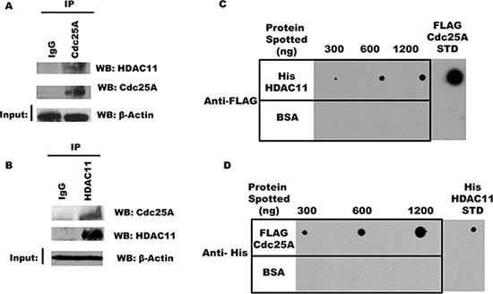 <t>Cdc25A</t> interacts directly with HDAC11 ( A ) and ( B ) Interaction between endogenous Cdc25A and HDAC11. Cdc25A (A) or HDAC11 (B) was immunoprecipitated from HEK 293T cell lysates. Immunoprecipitates were subjected to SDS-PAGE and probed with anti-HDAC11 and anti-Cdc25A antibodies. ( C ) Cdc25A binds directly to HDAC11. Purified His-HDAC11 and BSA (control) were immobilized on nitrocellulose membrane at the indicated concentrations and subsequently incubated in buffer containing <t>FLAG-Cdc25A</t> (800 ng). Cdc25A bound to His-HDAC11 was detected using anti-FLAG antibodies. ( D ) HDAC11 binds directly to Cdc25A. The reciprocal experiment used purified FLAG-Cdc25A and BSA immobilized on a nitrocellulose membrane which was incubated in buffer containing His-HDAC11 (800 ng). Bound His-HDAC11 was detected using anti-His antibodies.