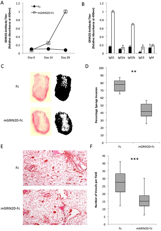 The physiological effects of GRIN2D-Fc vaccination A-B. quantitation of immune response to vaccination with GRIN2D-Fc fusion protein by ELISA, showing A, overall response and B, IgG specific response. Vaccinated mice had sponges introduced into their flank and angiogenesis was stimulated into the sponge with FGF infusions. C. representative images of macroscopic vascular invasion into the sponge in the treated and untreated groups. A mask was generated in image J [54] for each sponge and the percentage sponge invasion quantified, D, E. representative H E images of subcutaneous sponge morphology. F. quantitation from the H E images of sponge vessel density. Statistical analysis for all, Mann-Whitney U, ***P