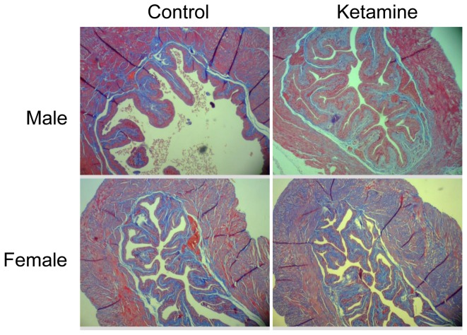 Masson's trichrome staining images of the mice bladders. The ketamine-injected mice exhibited no significant difference in the distribution of collagen proteins compared with the controls. Images of the bladder tissue were captured by microscopy (magnification, ×40).