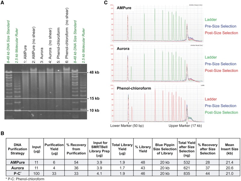 Comparison of SMRTbell library preparation efficiency from P. falciparum genomic DNA purified using three different methods. (A) High molecular weight P. falciparum genomic DNA prepared from an asynchronous culture using the Genomic tip kit was purified by three different methods: (i) AMPure PB magnetic bead-based clean up (Lanes 1 2), (ii) electrophoretic DNA extraction using the Aurora System (Lanes 3 4) or (iii) phenol-chloroform extraction (Lanes 5 6), and sheared as described in Materials and Methods. Quality and size distribution of the sheared DNA (140 ng) was assessed using field-inversion gel electrophoresis (Pippin Pulse System, Sage Science). Size markers included CHEF 8-48 kb DNA Size Standard (Bio-Rad) and 2.5 kb Molecular Ruler (Bio-Rad). (B) SMRTbell libraries prepared using the indicated amount of purified genomic DNA was subjected to size selection on the BluePippin System using a 15 kb cut-off. The DNA yield and % recovery of various steps, library preparation efficiency and size-selection distribution (based on Fig. 2C) of the three DNA purification methods were compared. (C) Size, quantity and quality of SMRTbell libraries before and after size-selection were assessed using the Agilent DNA 12000 kit on the Agilent 2100 Bioanalyzer System.