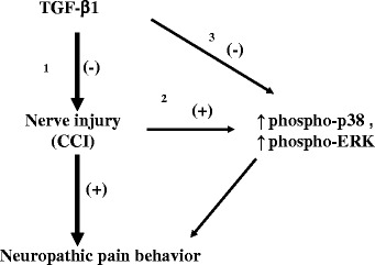 Schematic representation of possible mechanisms for the antinociceptive effects of intrathecal (i.t.) transforming growth factor-β1 (TGF-β1) during neuropathic pain. I.t. TGF-β1 may attenuate peripheral nerve injury-induced thermal hyperalgesia ( Pathway 1 ). Upregulation of phosphorylated <t>(phospho)-p38</t> and phosphorylated extracellular signal-regulated kinase <t>(phospho-ERK)</t> is a mechanism for nerve injury-induced pain ( Pathway 2 ). The antinociceptive effects of i.t. TGF-β1 may occur via suppression of nerve injury-induced upregulation of phospho-p38 and phospho-ERK ( Pathway 3 )