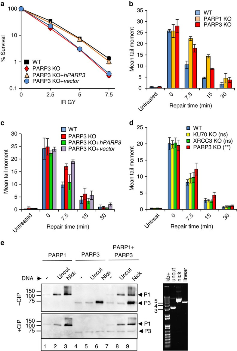 PARP3 promotes chromosomal SSBR and is stimulated by SSBs with canonical termini. ( a ) Wild-type (WT) DT40 cells, PARP3 −/− (PARP3 KO) DT40 cells, and PARP3 −/− DT40 cells stably transfected with either empty vector (vector) or vector encoding human recombinant PARP3 (hPARP3) were treated with the indicated doses of γ-rays and survival calculated in clonogenic assays. Data are the mean (±s.e.m.) of three independent experiments. Where not visible, error bars are smaller than the symbols. ( b ) WT, PARP1 −/− , or PARP3 −/− DT40 cells were treated on ice with γ-rays (20 Gy) and incubated for the indicated times to allow repair. DNA strand breaks were quantified (tail moment) by alkaline comet assays. Data are the average tail moment of > 50 cells per sample and are the mean of three independent experiments (±s.e.m.). ( c ) WT, PARP3 −/− , or derivatives of PARP3 −/− DT40 cells complemented with empty vector or hPARP3 were treated on ice with γ-rays (20 Gy) and incubated for the indicated times to allow repair. DNA strand breaks were quantified as above. ( d ) WT, KU70 −/− , or XRCC3 −/− DT40 cells were treated on ice with γ-rays (20 Gy) and incubated for the indicated times to allow repair. DNA strand breaks were quantified as above. ANOVA was employed to compare mutant DT40 for significant differences with WT (** P