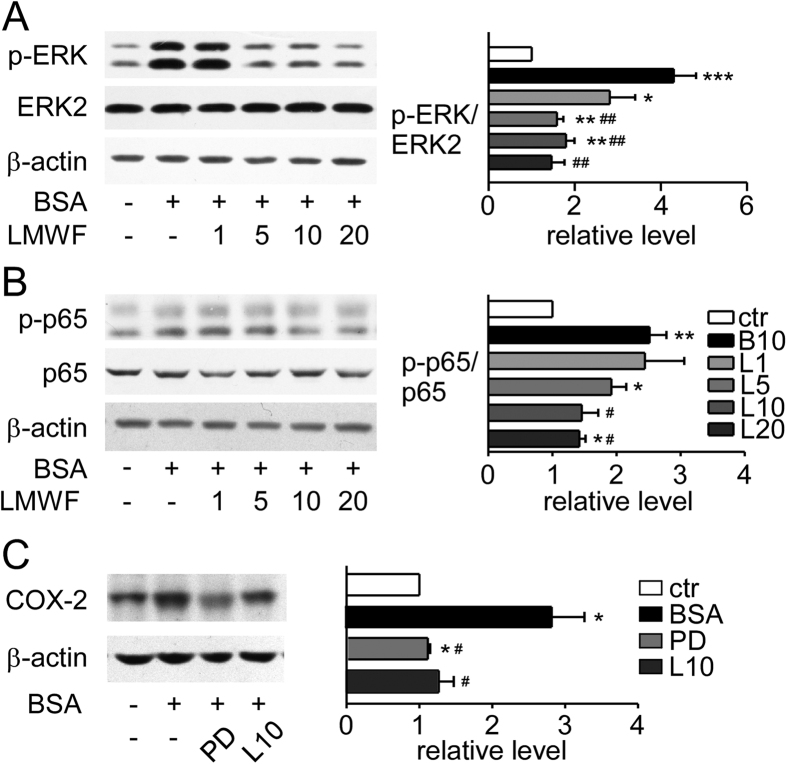 LMWF blocked NF-κB pathway activation induced by albumin in NRK-52E cells. ( A ) Expression levels of p-ERK, ERK2, and β-actin were detected by Western blot analysis. NRK-52E cells were pretreated with 1~20 μg/mL LMWF or PBS for 2 h and then were exposed to 10 mg/mL albumin or PBS for 15 min. Representative blots (left) and relative ratios of protein levels (right) are shown. ( B ) Expression levels of p-p65, p65, and β-actin in NRK-52E cells incubated with 1~20 μg /mL LMWF or PBS under 10 mg/mL albumin or PBS treatment for 48 h were determined by Western blot analysis. Left graph shows the representative blots and the right graph shows the density ratios. ( C ) Effect of ERK inhibitor PD98059 on albumin induced COX-2 expression. Cells were incubated with 10 mg/mL albumin or PBS in the presence or absence of LMWF or 20 μmol/L ERK inhibitor PD98059 (PD) for 48 h and were collected for Western analysis. Left graph shows the representative blots and the right graph shows the density ratios. Means ± SEM, n = 3~4. *P