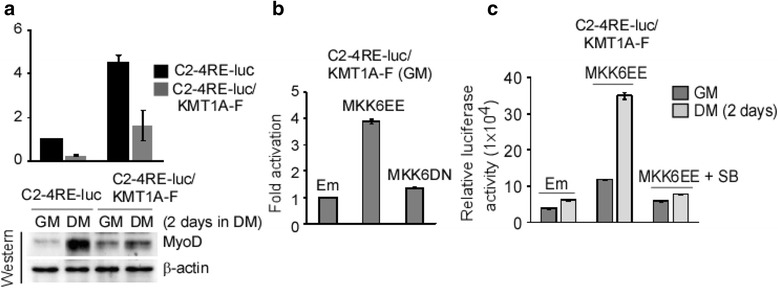 MKK6EE-p38α activation can abolish KMT1A inhibited gene activation by MyoD. a C2-4RE-luc/KMT1A-F cells were generated by overexpression of Flag-KMT1A in C2-4Re-luc reporter cells by lentiviral delivery. Subsequently, luciferase activity was assessed in C2-4RE-luc and C2-4RE-luc/KMT1A-F cells in GM or DM and expressed protein after normalization as fold activation. Western blot analysis of these reporter cells extracts probed with antibodies to detect MyoD and β-actin for loading control. b Luciferase activity was assessed in C2-4RE-luc/KMT1A-F cells following expression of MKK6EE, MKK6DN or vector control (Em) via lentiviral delivery grown in GM and expressed after protein normalization as fold activation. c C2-4RE-luc/KMT1A-F cells expressing vector control (Em) or MKK6EE via lentiviral delivery were grown in GM or DM and MKK6EE-transduced cells treated with or without SB. Afterward, luciferase activity was assessed in these cells and values expressed after protein normalization. Where appropriate, error bar, ±SEM ( n = 3)