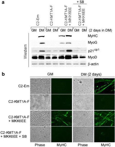 MKK6EE-p38α activation can rescue KMT1A suppressed muscle differentiation. a Western blot analysis of cell extracts from vector control C2-Em and Flag-KMT1A overexpressing C2-KMT1A-F cells generated via lentiviral delivery and the same cells after MKK6EE expression by same delivery system grown in GM or DM with or without SB. Probed with antibodies for indicated proteins where β-actin served as loading control. b Same as a except for western blot analysis, cells were fixed and evaluated for morphology by phase contrast microscopy and immunostained with anti-MyHC antibody (MF20)