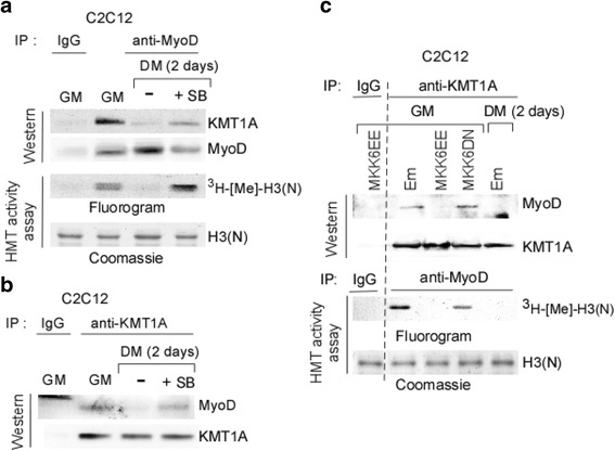 p38α unleashes KMT1A via phosphorylation from MyoD during differentiation. a Control IgG or anti-MyoD immunoprecipitates retrieved from cell extracts of C2C12 cells grown GM or DM with or without SB were divided equally and evaluated one part for western blot analysis, probed with antibodies against KMT1A and MyoD. Another part was subjected to HMT activity assay. Methylated and input H3(N) were detected by fluorography and Commassie, respectively. b Control IgG or anti-KMT1A immunoprecipitates retrieved from cell extracts used in a were subjected to western blot analysis, probed with antibodies against MyoD and KMT1A. c Control IgG, anti-KMT1A, or anti-MyoD immunoprecipitates were retrieved from cell extracts of C2C12 cells expressing vector control (Em), MKK6EE or MKK6DN via <t>lentiviral</t> delivery grown in GM or DM. Subsequently, IgG and KMT1A immunoprecipitates were subjected to western blot analysis, probed with antibodies against MyoD and KMT1A. Separately, IgG and MyoD immunoprecipitates were subjected to HMT activity assay. Methylated and input H3(N) were detected by fluorography and Commassie, respectively