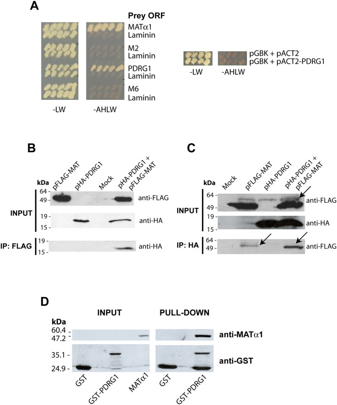 PDRG1 interacts with methionine adenosyltransferase α1. (A) Growth of yeast cotransfectants harboring pGBKT7-MATα1 (bait) and pACT2 plasmids (prey) including ORFs of MATα1, PDRG1, clone M2, clone M6 or laminin (negative control) in low (-LW) and high (-AHLW) stringency SC media. Additional controls including the empty pGBK plasmid are shown on the right. (B) Representative anti-FLAG immunoprecipitation results from four independent experiments using total lysates of CHO cells transiently cotransfected with pFLAG-MAT and pHA-PDRG1 or the empty plasmids (mock). The size of the standards is indicated on the left side of the panel. (C) Representative anti-HA immunoprecipitation data from three independent experiments utilizing total lysates of HEK 293T cells transiently cotransfected with pFLAG-MAT and pHA-PDRG1 or the empty plasmids (mock). Western blots of the input fractions were developed using anti-FLAG and anti-HA, whereas immunoprecipitates were analyzed using anti-HA or anti-FLAG with mouse TrueBlot ULTRA, as required. The arrow indicates an unspecific band recognized by anti-FLAG slightly over the FLAG-MATα1 signal in HEK 293T samples. The size of the standards is indicated on the left side of the panel. (D) Pull-down confirmation of the interaction using glutathione Sepharose beads loaded with GST or GST-PDRG1 and incubated with recombinant MATα1 plus excess GST. Results shown correspond to a typical experiments out of the five carried out; input fractions of the recombinant proteins used (left) and pull-down results (right) are shown. The size of the standards is indicated on the left side of the panel.