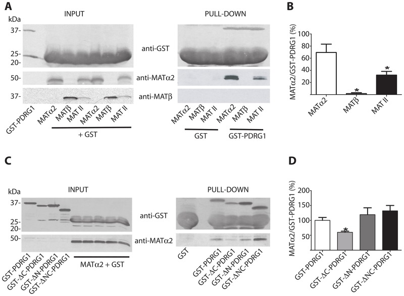 Pull-down analysis of PDRG1 interaction with MATα2 and MAT II. (A) Representative western blots of pull-down experiments using glutathione Sepharose beads loaded with GST or GST-PDRG1 and recombinant MATα2, MATβ or the hetero-oligomer MAT II; anti-GST, anti-MATα2 and MATβ were used for detection. The size of the standards is indicated on the left side of the panels. (B) Quantification of the MATα2/GST-PDRG1 signal ratio (mean ± SEM) from five independent pull-down experiments. (C) Representative western blots of pull-down experiments carried out with the truncated PDRG1 forms and recombinant MATα2 using anti-GST and anti-MATα2. The size of the standards is indicated on the left side of the panels. (D) Quantification of the MATα2/GST-PDRG1 signal ratio (mean ± SEM) from five independent pull-down experiments. All the incubations with MAT subunits or MAT II were carried out in the presence of excess GST to avoid unspecific binding. (*p≤0.05 vs GST-PDRG1).