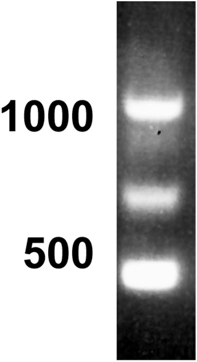 5'-RACE of cDNA encoding PDE10A in bull testis. Total RNA isolated from bull testes was reverse transcribed and processed for 5'-RACE as described in Materials Methods. The size of the amplified products was visualized after electrophoresis on an agarose gel. Three major amplicons of ≈1100, 700 and 450 bp were obtained. The position of the 1000 and 500 bp standards is indicated on the left. Similar results were obtained with RNA isolated from the testes of 3 different bulls.