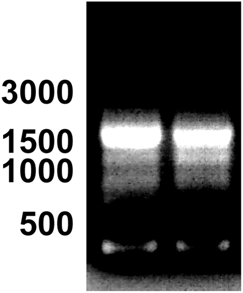 3'-RACE of cDNA encoding PDE10A in bull testis. Total RNA isolated from bull testes was reverse transcribed and processed for 3'-RACE as described in Materials Methods. The size of the amplified products was visualized after electrophoresis on an agarose gel. The results showing one major amplicon of ≈1500 bp were obtained with 2 different bulls. The position of 500, 1000, 1500 and 3000 bp is indicated on the left. Similar results were obtained using RNA from the testis of another bull.