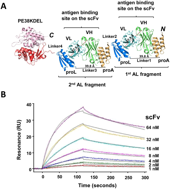 AL2-PE38KDEL adaptor-toxin fusion protein and <t>SPR</t> measurements of <t>AL2-PE38KDEL/scFv</t> interaction. ( A ) The AL2-PE38KDEL adaptor-toxin fusion protein has one additional AL fragment linked by a 5-residue linker (Linker2) to the N-terminus of the AL1-PE38KDEL as shown in Fig. 2A . ( B ) SPR measurements of immobilized AL2-PE38KDEL interacting with soluble scFv. The description is the same as in Fig. 2B . The overlaying black lines are the global fit to the experimental data with K d = 5.52 ± 0.03 × 10 −9 M; k on = 3.60 ± 0.06 × 10 5 M −1 S −1 and k off = 1.99 ± 0.04 × 10 −3 S −1 .