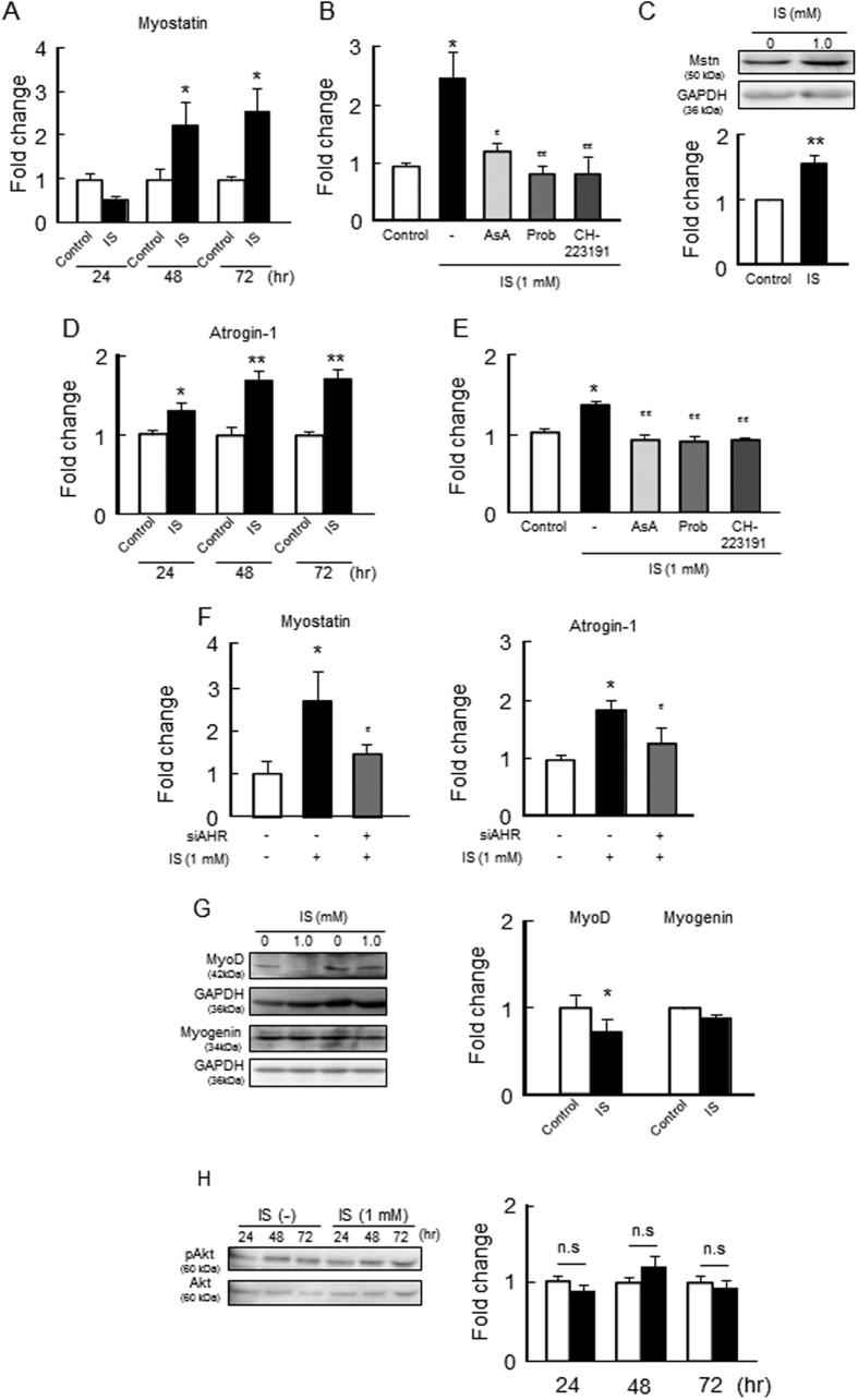 Effect of IS on the expression of myostatin, skeletal muscle atrophy- or myogenic-related genes and Akt phosphorylation in C2C12 myoblast cells. Effect of IS on ( A,B ) mRNA and ( C ) protein expression of myostatin, mRNA expression of ( D,E ) atrogin-1 were determined by real time RT-PCR. ( F ) Effect of AHR RNAi on IS-induced myostatin or atrogin-1 expression was determined by real time RT-PCR. ( G ) Protein expression of MyoD and myogenin in C2C12 myoblast cells were determined by Western blots. ( H ) Phosphorylation of Akt was detected by Western blots. C2C12 myoblast cells were starved with serum free medium for 2 hr, and then treated with IS for 24, 48 or 72 hr. After the incubation, total RNA or a whole cell lysate was collected and mRNA or protein expressions in the C2C12 myoblast cells were determined. To determine the effect of inhibitors, the cells were co-incubated in the presence or absence of ascorbic acid (AsA, a ROS scavenger), probenecid (Prob, Oat inhibitor) and CH-223191 (AHR inhibitor) for 72 hr, and the mRNA expression of ( B ) myostatin or ( E ) atrogin-1 in C2C12 myoblast cells were determined. Data are expressed the means ± SEM (n = 3~4). * p
