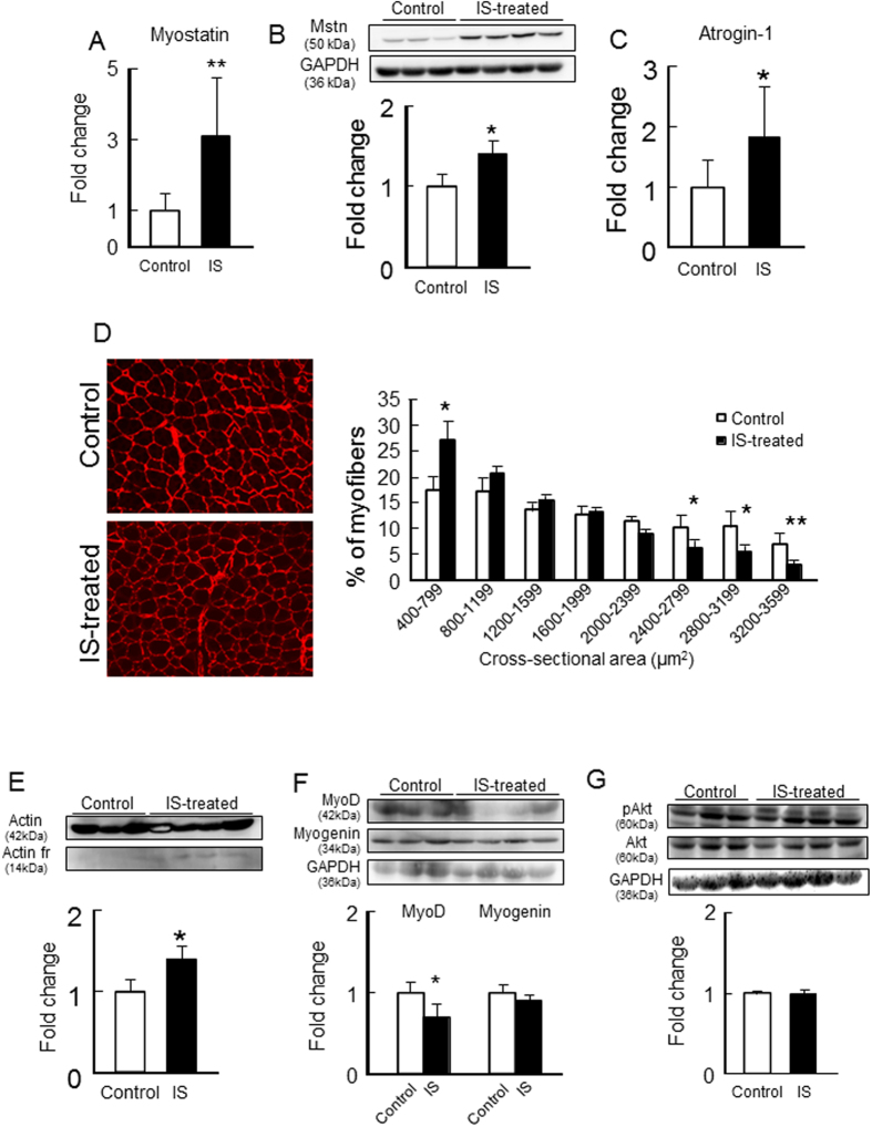 Effect of IS administration on myostatin expression and muscle atrophy- or myogenic-related genes expression or Akt phosphorylation in the skeletal muscle of 1/2 Nx mice. After IS administration for 12 weeks, ( A ) mRNA and ( B ) protein expressions of myostatin in gastrocnemius were determined by real time RT-PCR and Western blots. mRNA expression of ( C ) atrogin-1 in gastrocnemius were determined by real time RT-PCR. ( D ) Cryosections of tibialis anterior muscles were immunostained with anti-laminin to assess myofiber size. ( E ) Muscle degradation marker, 14 kDa actin fragment was determined by Western blot. ( F ) MyoD and myogenin expression in gastrocnemius were determined by Western blots. ( G ) Akt phosphorylation in gastrocnemius was determined by Western blots. Relative intensity of pAkt/Akt was quantified using the ImageJ software. Data are expressed the means ± SEM (n = 6~8). * p