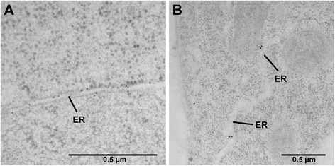 Detection of native PDI8 specifically at the ER by immunoelectron microscopy. TEM analysis was performed on sections taken from the shoot apex ( a ), and the root apex ( b ), after primary labeling with rabbit anti-PDI8 antiserum and secondary labeling with 10 or 15 nm gold-conjugated goat anti-rabbit IgG antibodies (respectively). Labeling was detected at the endoplasmic reticulum (ER)