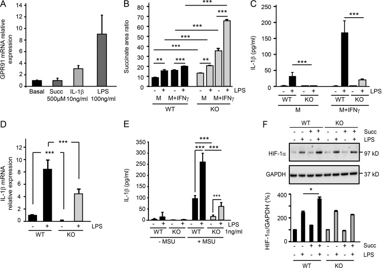 Extracellular succinate signals via GPR91 to stimulate macrophages to release <t>IL-1β.</t> (A) GPR91 mRNA expression in WT (Janvier C57BL/6J) inflammatory BMDMs (M-CSF + IFN-γ) ± 100 ng/ml LPS, 500 µM succinate, or 10 ng/ml IL-1β for 24 h. n = 3 of Ct values. Succinate (Succ), IL-1β, and LPS related to basal (=1). Data are representative of three experiments. (B) Succinate levels (mass spectrophotometry area ratio) in medium from cultured BMDMs. Extracellular succinate from WT (littermates; black bars) and Sucnr1 −/− (gray bars), neutral (M, M-CSF), or inflammatory (M + IFN-γ) BMDMs ± 100 ng/ml LPS for 24 h is shown. n = 6 wells. Data are representative of three experiments. (C) IL-1β in supernatants of WT (Janvier C57BL/6J) and Sucnr1 −/− neutral or inflammatory BMDMs ± 100 ng/ml LPS for 24 h. n = 3 wells and are representative of seven experiments. (D) IL-1β mRNA levels from cell lysates from WT (Janvier C57BL/6J) or Sucnr1 −/− inflammatory BMDMs ± 100 ng/ml LPS at 4 h (related to WT basal = 1). n = 2–3 of Ct values. Data are representative of two experiments. (E) IL-1β levels measured in the supernatant of WT (Janvier C57BL/6J) and Sucnr1 −/− inflammatory BMDMs stimulated with 1 ng/ml LPS and 180 µg/ml <t>MSU.</t> n = 5–6 wells. Data are representative of two experiments. (F) Western blot of HIF-1α (representative blot of two experiments) and quantification (two experiments; 100% for no stimulus, WT, and Sucnr1 −/− ) at 6 h after stimulation with 500 µM succinate, 100 ng/ml LPS, or a combination of the two in WT littermate controls and Sucnr1 −/− inflammatory BMDMs. *, P
