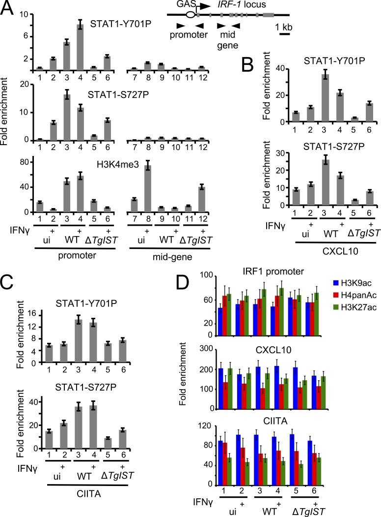 IFN-γ–induced activated STAT1 DNA association is enhanced by T. gondii in a TgIST-dependent manner. (A–C) HFFs were infected for 24 h with Pru ku80 (WT) and Pru ku80 ΔTgIST ( ΔTgIST ) or left uninfected (ui) and stimulated 6 h with IFN-γ (+) or left unstimulated. Samples were analyzed by ChIP assay with antibodies to STAT1 Y701-P, STAT1 S727-P, and H3K4me3. IgG was used as negative control. Bound DNA corresponding to IRF1, CXCL10, and CIITA loci was quantified by qPCR-ChIP, and signals were normalized with the input DNA. Error bars represent SD ( n = 3). Data are from one representative of three independent experiments. (D) ChIP-qPCR was used as aforementioned to monitor enrichment of H3K9ac, H4panAc, and H3K27ac at IRF1, CXCL10, and CIITA promoters. Error bars represent SD ( n = 3). Data are from one representative of two independent experiments.