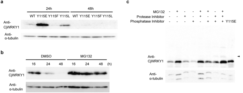 The stability of the CjWRKY1 protein in C. japonica 156-S protoplasts. ( a ) The different stabilities of WT and mutant CjWRKY1 proteins. CjWRKY1 proteins were detected using CjWRKY1-specific antibodies. ( b ) A proteasome inhibitor, MG132 (50 μM), stabilized the CjWRKY1 proteins for 48 h. ( c ) Synergistic effects of MG132, protease inhibitors, and protein phosphatase inhibitors on the accumulation of CjWRKY1 proteins. Cj156-S protoplasts were treated with 50 μM MG132, 1 mg/ml complete EDTA-free protease inhibitor cocktail, and/or 5 mg/ml <t>phosSTOP</t> phosphatase inhibitor cocktail. An acrylamide gel containing 50 μM Phos-tag was used to detect phosphorylated WRKY1. Arrows indicate the shifted bands corresponding to phosphorylated CjWRKY1. DMSO (0.1%) was used for mock treatments in ( b , c ). All experiments were repeated at least three times with similar results.