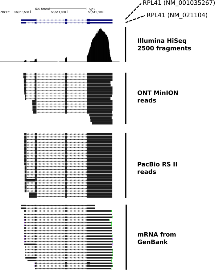 "Detection of different cDNA species for the RPL41 gene from either the Illumina HiSeq 2500 platform, the ONT MinION platform or the PacBio RS II platform. ONT MinION reads that were sequenced as full length, as defined by the presence of both the 5′ and 3′ RT adaptors, are presented. For the PacBio RS II example the corresponding ""Circular Consensus Sequencing"" reads are presented. These reads correspond to fully sequenced molecules. mRNA molecules from GenBank for the RPL41 gene are also shown. For the Illumina data a pileup of the sequenced paired-end fragments is presented."