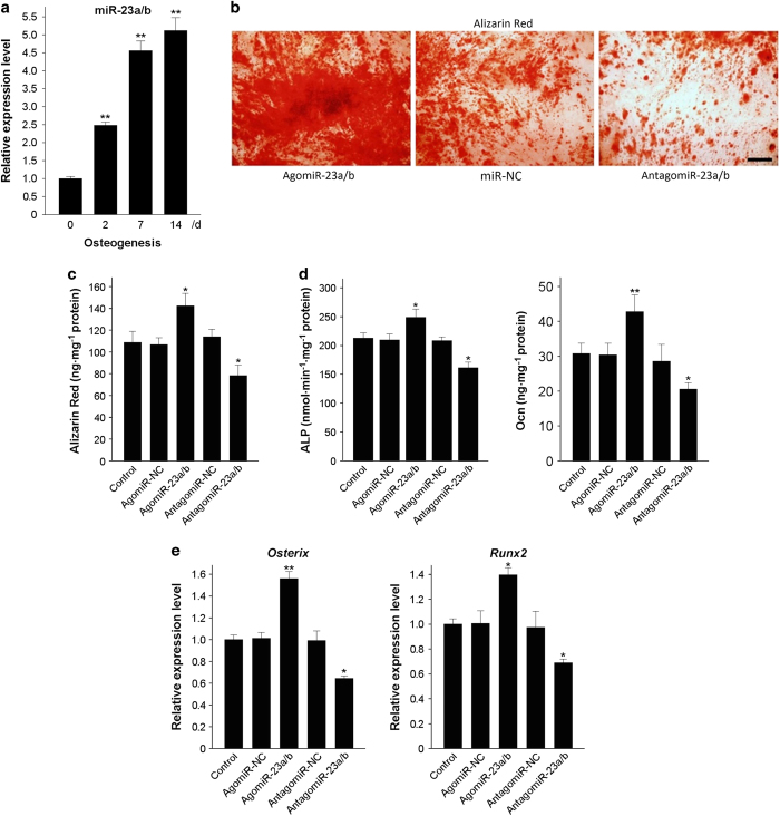 miR-23a/b promotes the osteogenic differentiation of BMSCs. ( a ) qRT-PCR analysis showed the relative levels of miR-23a/b in BMSCs induced to differentiate into osteoblasts for 14 days. ( b and c ) Representative images of Alizarin Red staining ( b ) and the quantitative analysis of matrix mineralization ( c ) in BMSCs induced to differentiate into osteoblasts for 21 days after transfection. ( d ) ALP activity and osteocalcin secretion were measured in BMSCs induced to generate osteoblasts for 48 h. ( e ) qRT-PCR was used to analyze the relative expression levels of Osterix and Runx2 in BMSCs induced to differentiate into osteoblasts for 48 h. Scale bars: 100 μm. n =5 per group. Data are shown as the mean±s.d. * P
