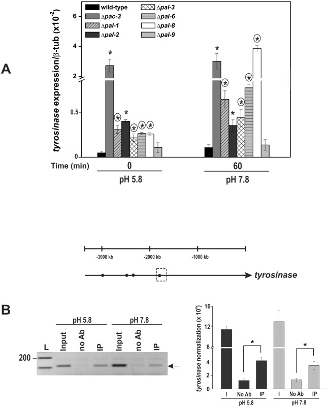 Expression of the tyrosinase gene in the wild-type and the Δ pal mutant strains at normal (5.8) and alkaline (7.8) pH. (A) Mycelial samples from the wild-type and Δ pal mutant strains cultured at pH 5.8 for 24 h and shifted to pH 7.8 for 1 h were used to extract total RNA. Gene expression analysis was performed by RT-qPCR on the StepOnePlus ™ Real-Time PCR system (Applied Biosystems) using Power SYBR ® Green and specific primers. The tub-2 gene was used as the reference gene. The asterisks indicate significant differences compared to the wild-type strain at the same pH, and circles indicate significant differences between the same mutant strain cultured at a different pH (Student's t -test, P