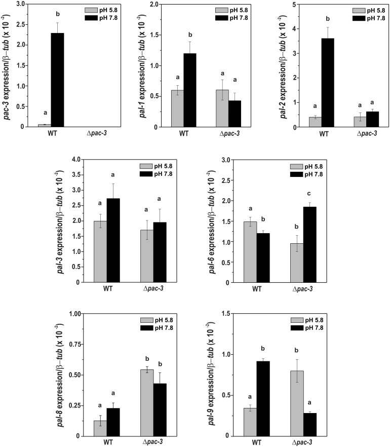 Expression of the pal genes in the wild-type and Δ pac-3 strains at normal and alkaline pH. Cells from the wild-type and Δ pac-3 strains were cultured at pH 5.8 for 24 h and shifted to pH 7.8 for 1 h. Mycelial samples were collected and used to extract total RNA. Gene expression analysis was performed by RT-qPCR in the StepOnePlus ™ Real-Time PCR system (Applied Biosystems) using the Power SYBR ® Green and specific primers. The tub-2 gene was used as the reference gene, and the pH 5.8 wild-type was used as the reference sample. At least three biological replicates were performed, and the data were analyzed using the relative quantification standard curve method. Bars indicate the standard deviation from the biological experiments. a, b, c: Letters above the bars indicate statistical significance; different letters indicate significant differences between two samples and similar letters indicate no significant difference between two samples at the same or different pH (Student's t -test, P
