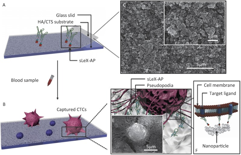 (A-B) Schematic workflow of the CTC- BioT Chip. The biotinylated-sLeX-AP coated on HA/CTS substrate for HCC CTCs capture. (C) SEM image of HA/CTS substrate. (D) Conceptual illustration of HCC CTC interacting with sLeX-AP coated CTC- BioT Chip. (E) SEM image of HepG2 cell captured on sLeX-AP coated CTC- BioT Chip. (F) Conceptual illustration of the molecular mechanism of capturing HCC CTC by sLeX-AP coated CTC- BioT Chip. Abbreviations: CTCs, circulating tumor cells; SEM, scanning electron microscope; HA/CTS, hydroxyapatite/chitosan.