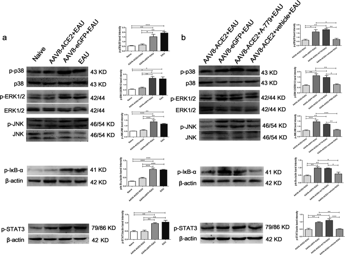 Involvement of the MAPK, NF-κB and STAT3 pathways in the ACE2/Ang-(1–7)/Mas axis mediated protection in EAU eye. (a) The phosphorylation levels of p38 MAPK, ERK1/2, JNK, IκB-α and STAT3 (p-p38 MAPK, p-ERK1/2, p-JNK, p-IκB-α and p-STAT3) in the AAV8-ACE2+EAU group compared with the AAV8-eGFP+EAU and EAU groups were determined by Western blotting (* p