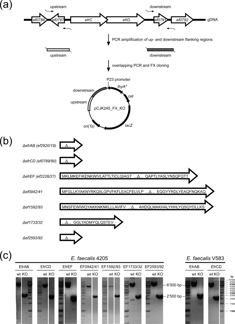 Generation of gene deletions in E. faecalis . (a) Genetic environment of a heterodimeric ABC transporter gene cluster ( efrCD is presented as an example) in the context of upstream ( ef0786 , ef0787 ) and downstream ( ef0791 , ef0792 ) genes. Upstream and downstream flanking regions (∼1,000 bp each) were amplified from genomic <t>DNA</t> (gDNA) and were cloned into the gene deletion vector pCJK245_FX. KO, knockout. (b) Translational products of gene remnants after transporter gene deletion. (c) Confirmation of transporter gene deletions in E. faecalis by <t>PCR</t> amplification from wild-type (∼6,000 bp) and mutant (∼2,500 bp) genomic DNA with primers used to amplify the upstream and downstream regions (5′-FW and 3′-RV [see Table S2 in the supplemental material]). Gene deletions for all seven heterodimeric ABC exporters were generated in E. faecalis 4205. The two transporter genes efrAB and efrCD were also deleted in E. faecalis V583.
