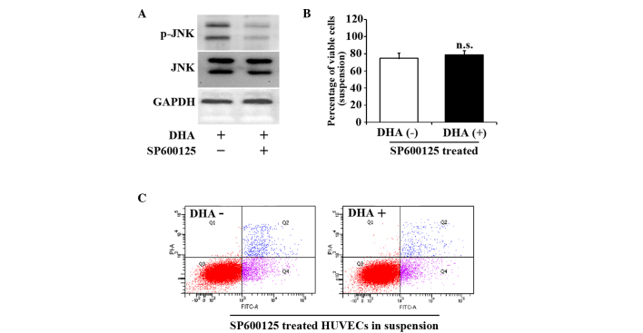 JNK inhibitor, SP600125, reverses the viability and apoptosis of suspended HUVECs induced by DHA. (A) Representative immunoblots of p-JNK and JNK in suspended HUVECs treated with DHA and SP600125. (B) Percentage of viable cells from suspended HUVECs treated with DHA and SP600125; n=4. (C) Representative images of flow cytometry analyses of Annexin V/PI-staining in suspended HUVECs treated with DHA and SP600125. DHA, dihydroartemisinin; JNK, c-Jun N-terminal kinase; p-JNK, phosphorylated-JNK; GAPDH, glyceraldehyde 3-phosphate dehydrogenase; HUVEC, human umbilical vein endothelial cell; n.s., non-significant; PI, propidium iodide; FITC, fluorescein isothiocyanate.