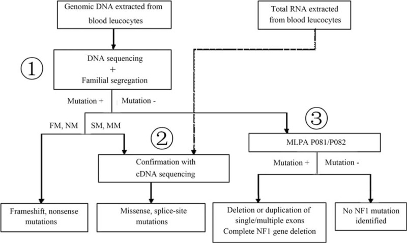 Flow chart for comprehensive NF1 mutation detection. Point mutations identified by <t>DNA</t> sequencing with specific primers (step 1) represented 68.8% of the NF1 mutations. Frameshift and nonsense mutations were identified in 31.3% and 18.8% of NF1 patients, respectively. In addition, missense and splice-site mutations were confirmed using <t>cDNA</t> sequencing (step 2) and were observed in 12.5% and 6.3% of NF1 patients, respectively. In the case of a negative result using DNA sequencing, an analysis of NF1 complete and large partial deletions was performed using multiplex ligation-dependent probe amplification (MLPA) (step 3) and occurred in 25.0% of NF1 patients. This comprehensive mutation screening procedure enabled us to identify an NF1 mutation in 93.8% of the NF1 patients in our study. NF1 = neurofibromatosis type 1.