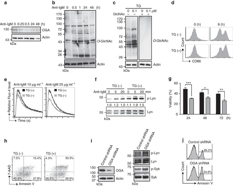 O -GlcNAcylation accumulation as a result of TG treatment promotes B-cell activation and apoptosis. ( a ) Immunoblotting (IB) showing the expression of OGA in mouse primary splenic B cells after anti-IgM (10 μg ml −1 ) stimulation at various time points. ( b ) IB showing the levels of O -GlcNAcylation after anti-IgM (10 μg ml −1 ) stimulation. ( c ) IB showing elevated levels of O -GlcNAcylated proteins after TG (1.0 μM) treatment of mouse splenic B cells. The specificity of anti- O -GlcNAc is validated in the presence of a 0.5 M GlcNAc competitor. ( d ) Flow cytometric analysis of surface CD86 expression showing the effect of pretreatment with TG (1.0 μM) for 8 h on the activation of mouse splenic B cells by anti-IgM (0.5 μg ml −1 ) treatment. ( e ) Levels of Ca 2+ influx measured by Fluo-4 labelling after pretreatment with TG (1.0 μM) for 8 h and stimulation with indicated doses of anti-IgM. ( f ) IB showing increased levels of Lyn phosphorylation on tyrosine 397 in mouse splenic B cells that were pretreated with TG and stimulated with anti-IgM (10 μg ml −1 ) at the indicated time points. ( g ) Cell viability determined by trypan blue staining of splenic B cells that were pretreated with TG (shown as grey bar) and stimulated with anti-IgM (10 μg ml −1 ) for 24, 48 and 72 h. Results represent the mean±s.e.m. ( n =3). * P