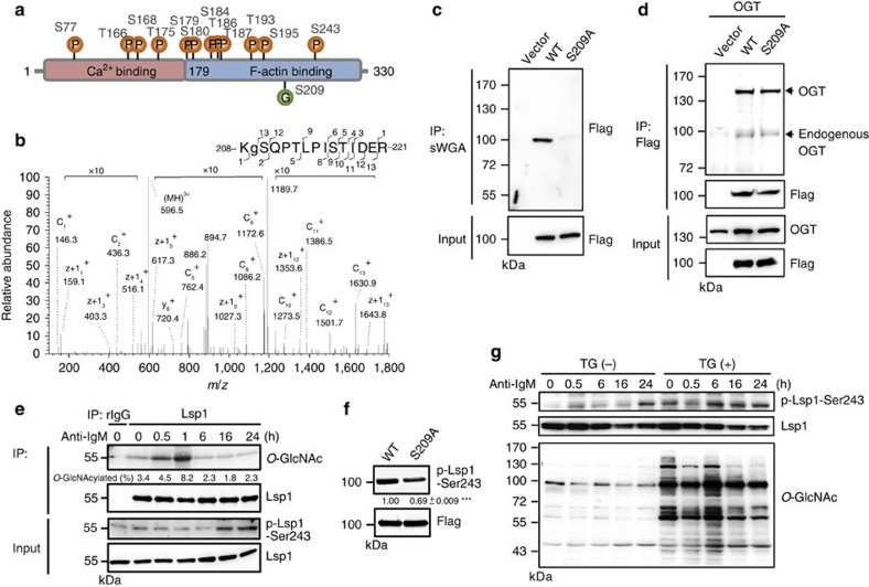 Dynamic interplay between O -GlcNAcylation and phosphorylation on Lsp1 in B cells after anti-IgM stimulation . ( a ) Mass spectrometric results revealing 12 mapped phosphorylation sites and 1 O -GlcNAcylation site on Lsp1. ( b ) Mapping of the O -GlcNAcylation site 208-KSQPTLPISTIDER-221 of Lsp1 using ETD fragmentation during MS/MS analysis. The ions, c 1 + (146.3 Da), c 2 + (436.3 Da), z+1 12 + (1353.5 Da), z+1 13 + (1643.8 Da) suggest that S209 is O -GlcNAcylated. ( c ) Lysates prepared from Ramos B cells overexpressing the vector control, Flag-EGFP-tagged WT or S209A Lsp1 were subjected to a pull-down assay using sWGA agarose beads, followed by immunoblotting (IB) with an anti-Flag antibody. ( d ) Lysates from 293T cells ectopically expressing OGT and either vector, Flag-EGFP-tagged WT or S209A Lsp1, were used for immunoprecipitation (IP) with anti-Flag, followed by IB with the indicated antibodies. ( e ) IB showing the levels of Lsp1, S243 phosphorylated Lsp1 and O -GlcNAcylated Lsp1 in anti-IgM (10 μg ml −1 ) stimulated mouse splenic B cells at indicated time points in an IP assay with control rabbit IgG (rIgG) or anti-Lsp1-specific antibody crosslinked to protein A agarose. The percentage of O -GlcNAcylated Lsp1 is indicated. ( f ) Sorted EGFP + Ramos B cells overexpressing Flag-EGFP-tagged WT or S209A Lsp1 were stimulated with anti-human IgM (25 μg ml −1 ) for 30 min, followed by IB analysis of Lsp1 S243 phosphorylation. One representative experiment out of three is shown. The relative levels of Lsp1 with phosphorylation at S243 were indicated. Results represent the mean±s.e.m. ( n =3). *** P