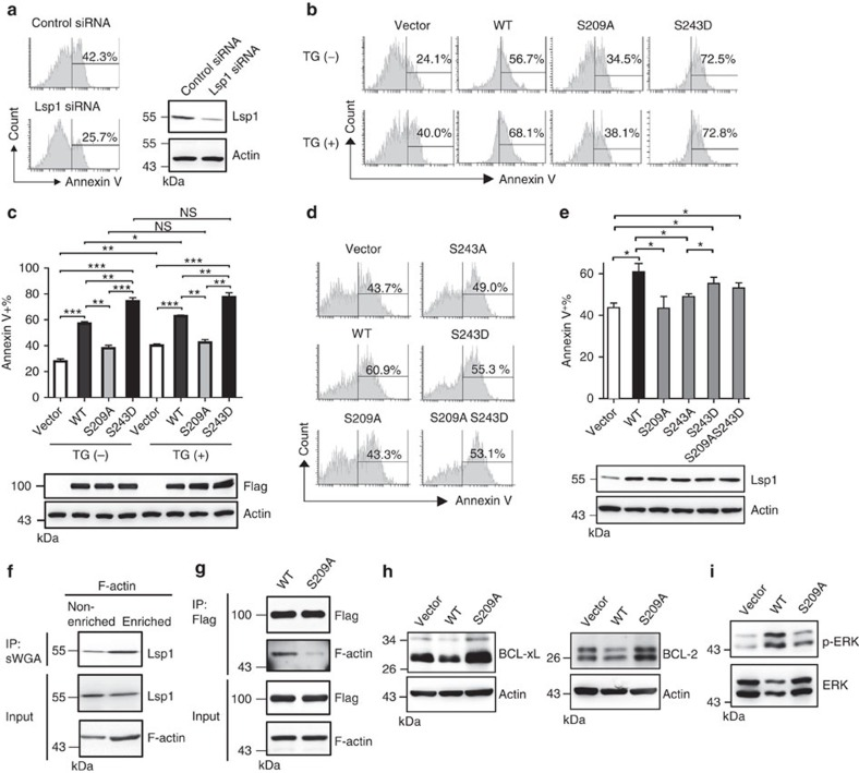 O -GlcNAcylation of Lsp1 controls B-cell apoptosis by enhancing ERK phosphorylation and reducing BCL-2 and BCL-xL expression. ( a ) Flow cytometric analysis of the frequency of Annexin V + Ramos B cells transfected with control siRNA or Lsp1-specific siRNA, and stimulated with anti-IgM (25 μg ml −1 ) for 48 h. Immunoblotting (IB) showing the knockdown of endogenous Lsp1 by Lsp1 siRNA. ( b ) Flow cytometric analysis of the frequency of Annexin V + cells among EGFP + Ramos B cells lentivirally transduced with the indicated vectors and stimulated with anti-IgM (25 μg ml −1 ) with or without the treatment with TG for 48 h. ( c ) Statistical results of the Annexin V + cells described in b are shown. IB showing the equal expression of various variants of Flag-EGFP-tagged Lsp1. ( d ) The frequency of Annexin V + cells in the YFP + gate of mouse splenic B cells transduced with the indicated retroviral vectors and stimulated with anti-IgM (10 μg ml −1 ) for 48 h. ( e ) Statistical results of the Annexin V + cells described in d are shown. IB showing the equal expression of various variants of Flag-tagged Lsp1. The results in c , e represent the mean±s.e.m. ( n =3). * P