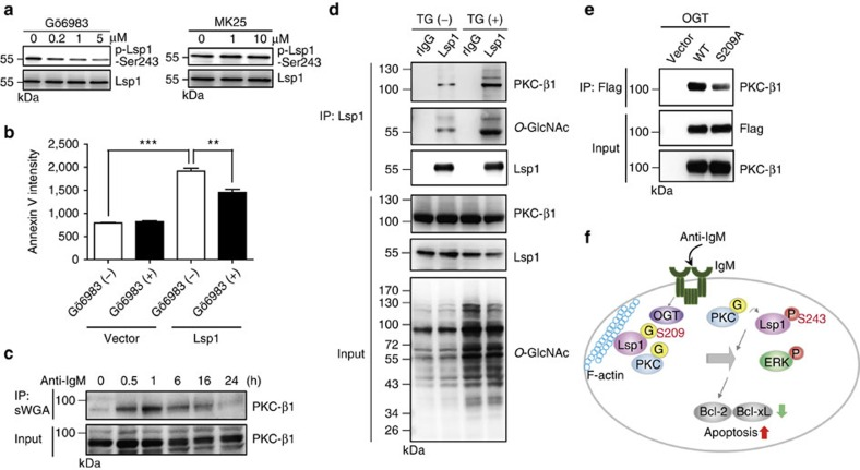 O -GlcNAcylation of Lsp1 affects the recruitment of PKC-β1. ( a ) Immunoblotting (IB) showing the effects of various doses of a PKC inhibitor, Gö6983 (left panel), or an MK2 inhibitor, MK25 (right panel), on the levels of Lsp1 S243 phosphorylation in anti-IgM (10 μg ml −1 )-stimulated mouse splenic B cells. Inhibitors were added for 1 h, and the cells were collected 24 h after anti-IgM stimulation. ( b ) Statistical results (mean±s.e.m., n =3) showing the mean fluorescent intensity of Annexin V staining from the flow cytometric analysis of splenic B cells expressing the indicated vectors and stimulated with anti-IgM (10 μg ml −1 ) in the presence or absence of Gö6983 at 24 h. ** P