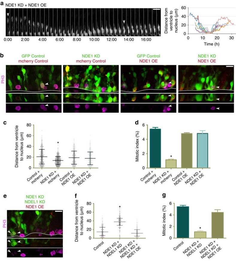 RNAi-resistant NDE1 overexpression rescues all defects seen in radial glia progenitors across knockdown conditions. RNAi-resistant NDE1 was co-electroporated into embryonic rat brains with a GFP control empty vector or along with NDE1 shRNA or NDE1 and NDEL1 shRNAs at E16, and analysed at E20. ( a ) Restoration of apical interkinetic nuclear migration, mitosis and subsequent basal migration of progeny measured by live imaging. Arrowheads marks the radial glia progenitor (RGP) of interest. Montage panels are shown at 30 min intervals. Full movie can be found in Supplementary Material (see Supplementary Movie 5 ), as well as an additional movie that more clearly displays the two-daughter cell progeny ( Supplementary Movie 6 ). ( b ) Representative images of RGPs stained for PH3 within the VZ in various specified co-expression conditions. Arrowheads mark mitotic electroporated RGPs. Dashed line indicates ventricular surface. ( c ) Soma position of RGPs with RNAi-resistant NDE1 overexpressed during NDE1 knockdown indicates that the somal positioning distribution is rescued. ( d ) Overexpression of RNAi-resistant NDE1 with NDE1 knockdown also rescues the mitotic index. ( e ) Representative image of NDE1/NDEL1 double knockdown with overexpression of RNAi-NDE1, stained for PH3. Arrowheads mark mitotic electroporated RGPs. Dashed line indicates the ventricular surface. ( f , g ) Overexpression of RNAi-resistant NDE1 with double NDE1/NDEL1 knockdown rescues the distribution of RGP nuclei in the VZ and restores the mitotic index of RGP cells. Data are presented as scatterplot in c and f with bars representing the median±the interquartile range, and as mean±s.e.m. in d and g ). Kolmogorov–Smirnov test for non-parametric distributions used in c and f (* P