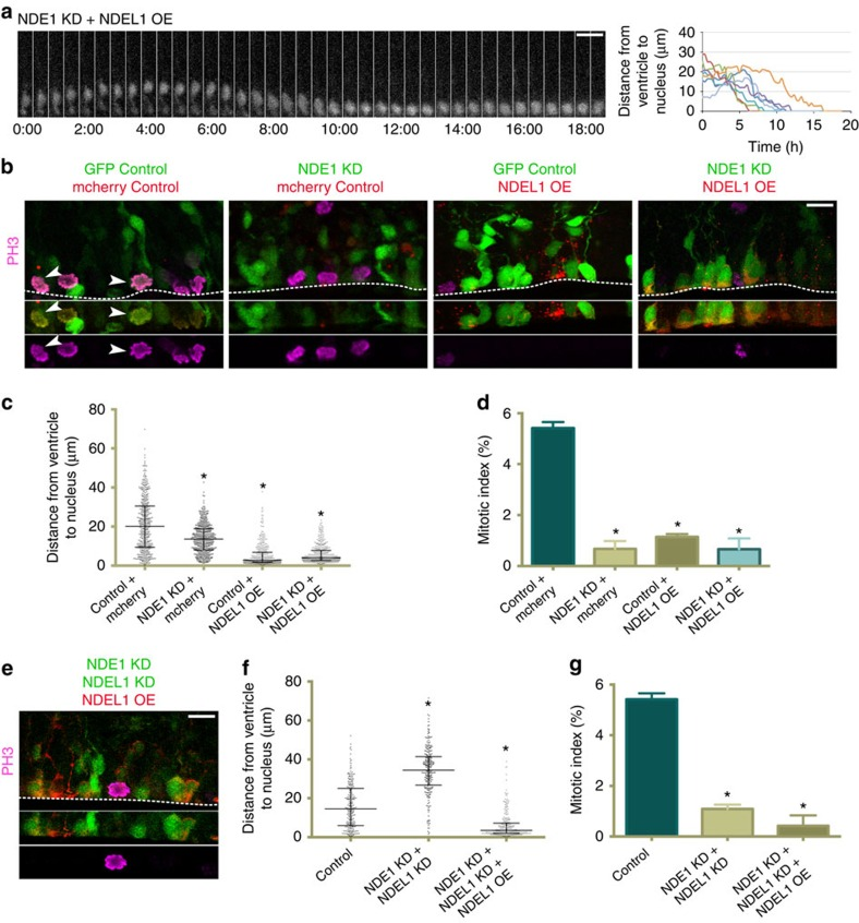 NDEL1 overexpression rescues apical nuclear migration but not mitotic entry in NDE1 deficient radial glia progenitors. cDNA for NDEL1 was co-electroporated into embryonic rat brains with a GFP control empty vector or along with NDE1 shRNA or NDE1 and NDEL1 shRNAs at E16, and analysed at E20. ( a ) NDEL1 overexpression rescues apical interkinetic nuclear migration (INM) in radial glia progenitors (RGPs) where NDE1 has been knocked down, but these cells accumulate at the ventricular surface after apical INM, where they remain for hours without any evidence of mitosis. Montage panels are shown at 30 min intervals. Full movie can be found in Supplementary Movie 7 ). ( b ) Representative images of NDEL1 overexpression on both a wild-type and NDE1 RNAi background reveals an accumulation of the majority of RGP nuclei at the ventricular surface in a PH3 negative state. Arrowheads mark electroporated cells in mitosis. Dashed line represents the ventricular surface. ( c ) NDEL1 overexpression causes nearly all RGP soma to accumulate at the ventricular surface regardless of whether NDEL1 is overexpressed on a wild-type or NDE1 RNAi background. ( d ) Even though NDEL1 overexpression caused an accumulation of RGP soma at the ventricular surface, the mitotic index remained reduced to a level similar to NDE1 knockdown alone. ( e ) Representative image of RNAi-resistant NDEL1 overexpression with NDE1/NDEL1 double knockdown in RGP cells stained for PH3. Dashed line represents the ventricular surface. ( f , g ) RNAi-resistant NDEL1 overexpression with NDE1/NDEL1 double knockdown caused an accumulation of RGP soma at the ventricular surface similar to overexpression of NDEL1 on a wild-type or NDE1-deficient background, and once again failed to rescue the mitotic index. Data are presented as scatterplot in c and f with bars representing the median±the interquartile range, and as mean±s.e.m. in d and g . Kolmogorov–Smirnov test for non-parametric distributions used in c and f (* P
