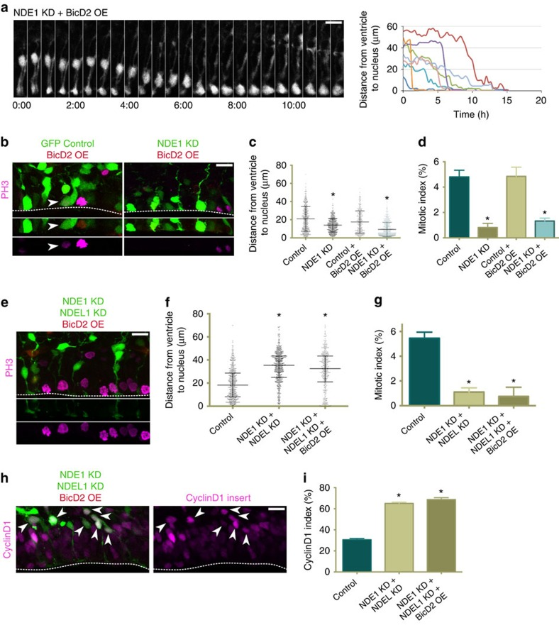 BicD2 overexpression rescues apical nuclear migration but not entry into mitosis in radial glia progenitors depleted of NDE1. cDNA for full-length BicD2 was co-electroporated into embryonic rat brains with a GFP control empty vector or along with NDE1 shRNA or NDE1 and NDEL1 shRNAs at E16, and analysed at E20. ( a ) The overexpression of BicD2 in radial glia progenitors (RGPs) lacking NDE1 restores apical migration, though the soma accumulate at the ventricle for hours without any evidence of mitosis. Montage panels are shown at 30 min intervals. Full movie can be found in Supplementary Movie 8 . ( b ) Representative images of BicD2 overexpression on both a wild-type and NDE1 knockdown background with staining for PH3. Arrowheads mark mitoses in electroporated cells. Dashed line indicates ventricular surface. ( c ) BicD2 overexpression did not alter the somal distribution of control RGP cells but caused the vast majority of NDE1 knockdown RGP soma to accumulate at the ventricular surface. ( d ) Despite the accumulation of RGP soma at the ventricle in NDE1 knockdown with BicD2 overexpression, the mitotic index remained reduced. ( e ) Representative image of RGP cells with BicD2 overexpression along with double NDE1/NDEL1 knockdown, stained for PH3. Dashed line indicates ventricle. ( f , g ) Overexpression of BicD2 with NDE1/NDEL1 double knockdown fails to rescue the somal distribution pattern or mitotic index of double NDE1/NDEL1 knockdown RGP cells. ( h , i ) The same ratio of RGP nuclei were positive for CyclinD1 whether or not BicD2 was overexpressed along with the double NDE1/NDEL1 knockdown, indicating the prominence of the G1-to-S block in the double knockdown, and the G2 specificity of the BicD2 rescue strategy. Arrowheads mark electroporated RGP nuclei positive for CyclinD1. Dashed line indicates ventricle surface. Data are presented as scatterplot in c and f with bars representing the median±the interquartile range, and as mean±s.e.m. in d , g and i . Kolmog