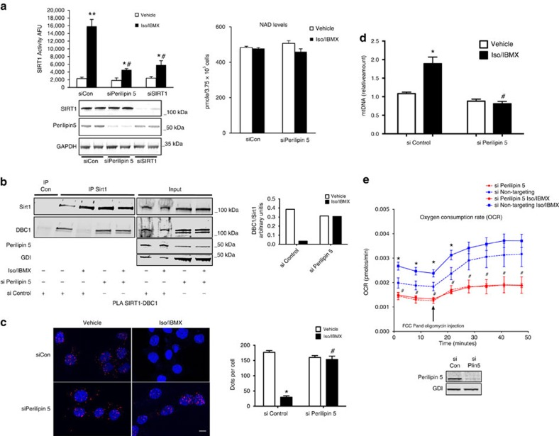 Perilipin 5 regulates catecholamine-stimulated SIRT1 deacetylation activity and mitochondrial biogenesis and respiration. ( a ) MLTC-1 cells were transfected with the indicated siRNA duplexes. After 72 h, cells were treated with Iso/IBMX or vehicle for 30 min and SIRT1 deacetylase activity was measured in the cell lysates (left). Western blotting for SIRT1, Perilipin 5 and GAPDH document siRNA specificity (bottom). Intracellular NAD + levels with Iso/IBMX or siPerilipin 5 treatments (right). ( b ) Immunoprecipitation of SIRT1 followed by WB for DBC1 and SIRT1 from MLTC-1 cells transfected with the indicated siRNA duplexes. Cells were treated with vehicle or Iso/IBMX for 30 min before immunoprecipitation. Relative quantification of immunoprecipitated DBC-1 normalized for immunoprecipitated SIRT1 is shown in the histogram. ( c ) PLA for SIRT1-DBC1 complexes (red dots) in MLTC-1 cells transfected with the indicated siRNA duplexes for 48 h followed by treatment with vehicle or Iso/IBMX for 30 min (left) with quantification using Cell Profiler (right). ( d ) mtDNA content analysed by qPCR in brown adipocytes transfected with siControl or siPerilipin 5 followed by treatment with vehicle or Iso/IBMX for 2 h. ( e ) OCR in brown adipocytes transfected with siControl or siPerilipin 5 followed by treatment with vehicle or Iso/IBMX. n =3 biological replicates/experimental condition with each biological replicate representing an independent transfection and treatment. Values are expressed as the mean±s.e.m. These data were replicated in a second independent experiment. * P