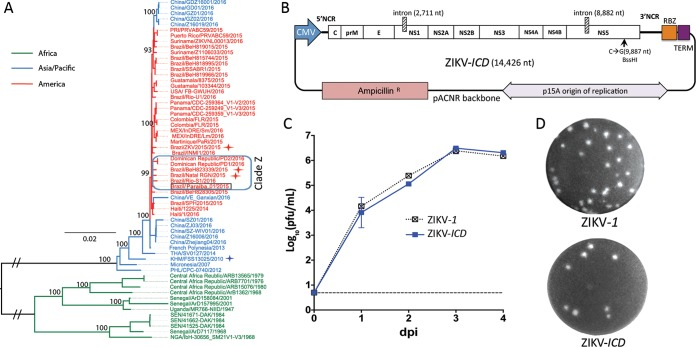 Reverse-genetics system for epidemic strain of ZIKV. (A) Maximum-likelihood phylogenetic tree with bootstrap values for the Paraiba_01/2015 strain (highlighted with a black box) and 60 representative ZIKV isolates. Color coding emphasizes the geographic origins of the strains. ZIKV strains associated with human microcephaly cases (Natal RGN, ZKV2015, and BeH823339) are highlighted with red stars. Strain FSS13025 is highlighted with a blue star. (B) Schematic map of ZIKV- ICD plasmid <t>DNA.</t> NCR, noncoding region; RBZ, antigenomic ribozyme of HDV; TERM, poly(A) <t>signal/RNA-</t> polII terminator. (C) Growth kinetics of ZIKV- ICD and ZIKV- 1 after plasmid DNA transfection into Vero cells. The dashed line indicates the limit of virus detection (0.7 log 10 PFU/ml). (D) Plaque morphology of ZIKV- ICD and ZIKV- 1 in Vero cells at 4 days postinfection (dpi).
