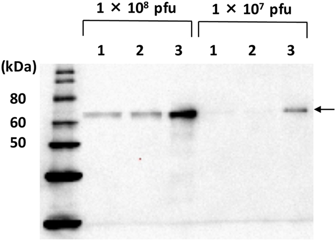 Western blot of GP64 from each baculovirus. Each virus was propagated on Bm5 (BmNPVΔbgp/AcGP64/EGFP and BmNPVΔbgp/BmGP64-EGFP) or Sf-9 (BacMam 2.0) cells and partially purified. Subsequently, 1 × 10 8 or 1 × 10 7 PFU of each virus was separated by SDS-PAGE, transferred to a PVDF membrane, and subjected to western blot analysis using rabbit anti-BmNPV GP64 polyclonal antibody. Lane 1: BmNPVΔbgp/AcGP64/EGFP, Lane 2: BmNPVΔbgp/BmGP64-EGFP, Lane 3: BacMam 2.0. Arrows indicate expressed AcGP64 or BmGP64.