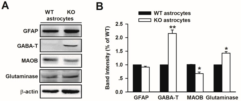 Increased GABA-T and glutaminase, and reduced MAOB expression in Fmr1 KO astrocytes. ( A ) Western blot analysis of GABA-T, glutaminase, and MAOB from cultured astrocytes of WT and KO mice; ( B ) Band intensities were quantified as a percentage of values from WT astrocytes. n = 6 wells from three independent experiments. * p