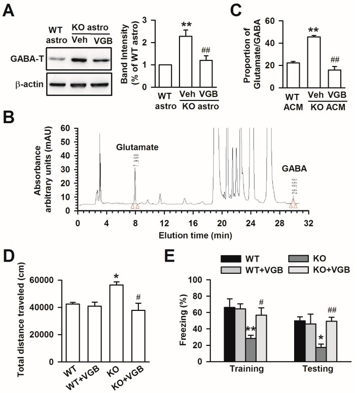 Treatment with VGB inhibited GABA-T expression and reversing the abnormal behaviors caused by Fmr1 KO astrocytes. ( A ) Band image and intensity analysis of GABA-T from cultured astrocytes showed that VGB inhibited GABA-T expression in KO astrocytes. n = 6 wells from three independent experiments. ** p