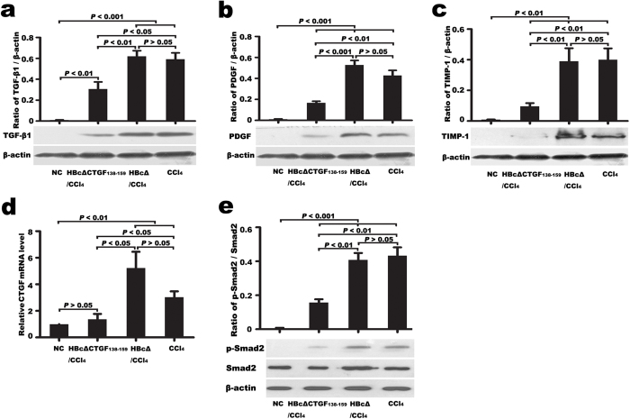 Vaccination against CTGF reduced the expression of profibrogenic factors in the fibrotic livers. Western blotting detection of TGF-β1 ( a ), PDGF-B ( b ), TIMP-1 ( c ) and RQ-PCR evaluation of CTGF mRNA ( d ) revealed that vaccination against CTGF decreased the expressions of TGF-β1, PDGF-B, TIMP-1 and CTGF in CCl 4 -induced fibrotic mouse livers. Western blotting evaluation of the hepatic tissue p-Smad2/Smad2 ratio revealed that the vaccination inhibited Smad2 phosphorylation ( e ). Following Western blotting, bands were quantified with Image-J software. Relative protein abundance in each sample was normalized to that of β-actin. The RQ-PCR results were represented as the means ± SEM of three independent experiments, each of which was performed in triplicate reactions. Error bars indicate SEM. TGF-β1, transforming growth factor β1; PDGF-B, platelet-derived growth factor B; TIMP-1, tissue inhibitor of metalloproteinase-1; RQ-PCR, Real-time quantitative reverse transcriptase polymerase chain reaction.