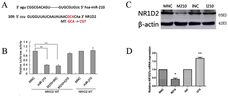 NR1D2 is directly targeted by miR-210. ( A ) Putative binding sites for human miR-210 were predicted in the 3′-UTR of NR1D2 mRNA. The mutated bases of predicted miR-210 binding sites are underlined, namely MT-NR1D2 3′-UTR. ( B ) miR-210 targeted the 3′-UTR of NR1D2. Luciferase reporters containing either miR-210 putative binding sites from the wild-type NR1D2 3′-UTR (WT NR1D2-3′-UTR) or mutated NR1D2 3′-UTR (MT NR1D2-3′-UTR) were co-transfected with the indicated microRNA mimics into 293T cells. Luciferase activity was measured 30 h after transfection. ( C ) The NR1D2 protein was quantified by Western blotting. NT-2 cells were harvested 48 h after transfection with RIPA lysis buffer. Gels were run under the same experimental conditions (120 V for 90 mins). ( D ) NR1D2 mRNA expression was evaluated by real-time PCR. Total RNA was extracted 48 h after transfection using a standard TRIzol protocol. WT: wild-type, MT: mutant, MNC: normal control mimics, M210: miR-210 mimics, INC: normal control inhibitors, I210: miR-210 inhibitors. All data are presented as the means ± SEMs from at least three independent experiments. *p