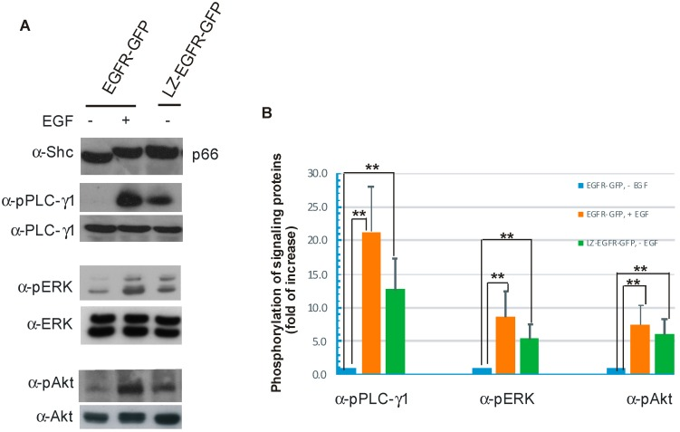 Stimulation of various signal transduction pathways by activation of EGFR-GFP or LZ-EGFR-GFP. ( A ) 293T cells were transiently transfected with EGFR-GFP or LZ-EGFR-GFP. Following serum starvation for 24 h, cells were treated with or without EGF. The cell lysates were subjected to immunoblotting analysis with rabbit anti-SHC, rabbit anti-phospho-PLC-γ1, rabbit anti-PLC-γ1, mouse anti-phospho-ERK1/2, mouse anti-Erk1/2, rabbit anti-phospho-Akt and rabbit anti-Akt antibodies; ( B ) Quantification of the data from ( A ). The band is quantitated by densitometry with image J software. The protein phosphorylation level of the control (EGFR-GFP, without EGF treatment) was set to 1 and the phosphorylation of the proteins under other conditions was expressed as the fold increase compared to control. Each value is the average of at least three independent experiments and the error bar is the standard error. **: p