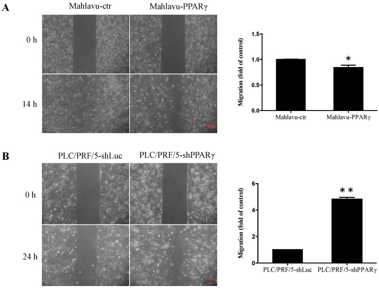 Effects of PPARγ overexpression and knockdown on cell migration of Mahlavu cells and PLC/PRF/5 cells, respectively. ( A ) Cell migration abilities of Mahlavu-ctr and Mahlavu-PPARγ cells were analyzed over 14 h by wound healing assay; ( B ) cell migration abilities of PLC/PRF/5-shLuc and PLC/PRF/5-shPPARγ cells were assessed over 24 h by wound healing assay. Relative quantification data are expressed as the mean ± SEM (standard error of the mean) from three independent experiments. * p