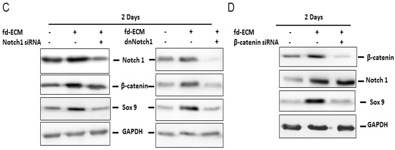 Chondrogenic differentiation of ad-MSCs in the presence of fd-ECM requires activation of Notch1 and β-catenin signaling. Ad-MSCs were cultured on plastic dishes (−) or on the fd-ECM (+) for the indicated number of days ( A , B ) Ad-MSCs cultured on plastic control dishes and on fd-ECM were evaluated for β-catenin expression using immunofluorescence assay. Ad-MSCs, cultured for two days and four days, were incubated with antibodies against β-catenin and DAPI was used to stain the DNA in the nucleus. Scale bar: 100 µm; ( C ) Ad-MSCs were transfected with Notch1 siRNA and the dominant negative Notch1 construct using Transfectin Lipid reagent. Evaluation of Notch1, Sox9 and β-catenin protein levels was done; and ( D ) ad-MSCs were transfected with β-catenin siRNA as described above and Notch1, Sox9, and β-catenin protein level was determined.